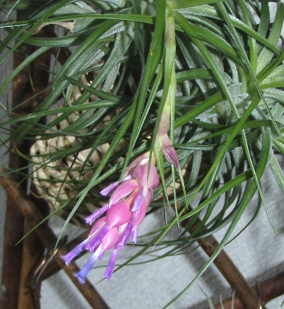 Tillandsia stricta 3