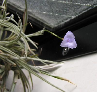Tillandsia bandensis 3