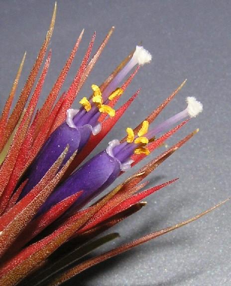 Tillandsia ionantha Planchon 2