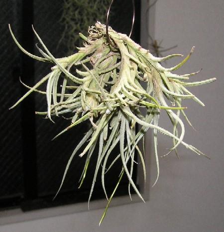 Tillandsia bandensis 1