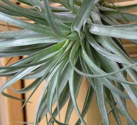 Tillandsia stricta Rigid Leaf 3