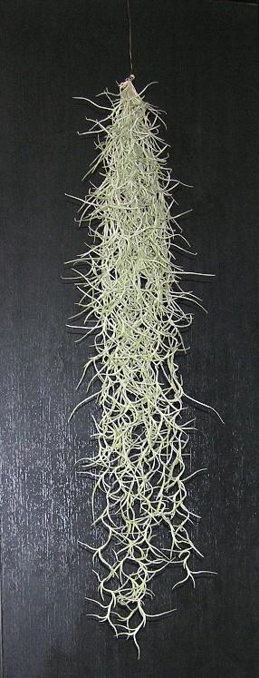 Tillandsia usneoides 1