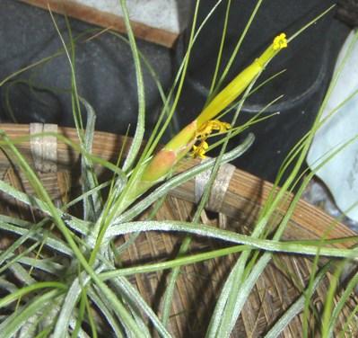 Tillandsia schiedeana minor 1