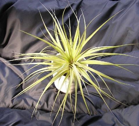 Tillandsia stricta Rigid Leaf 1