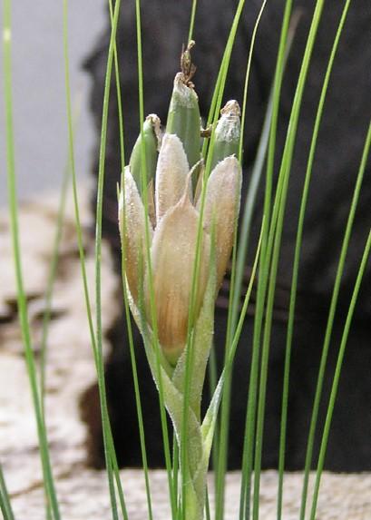 Tillandsia Juncefolia 3
