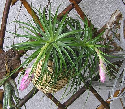 Tillandsia stricta 1