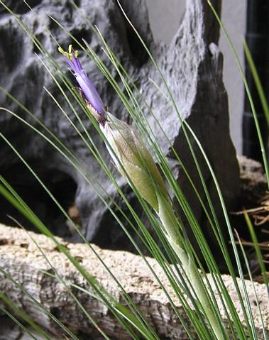 Tillandsia Juncefolia 2