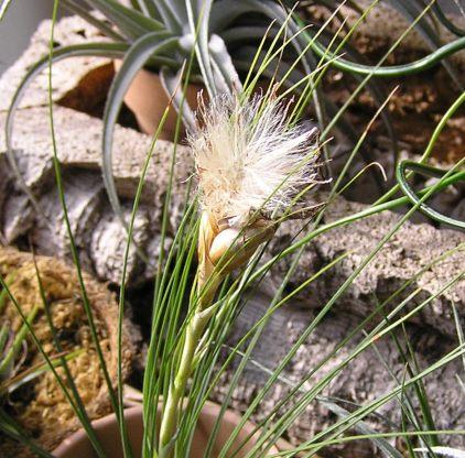 Tillandsia Juncefolia 4