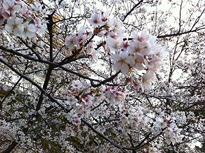 福山城お花見3