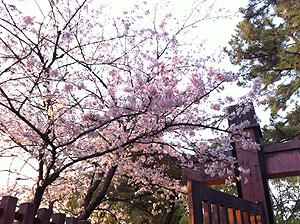 福山城お花見4