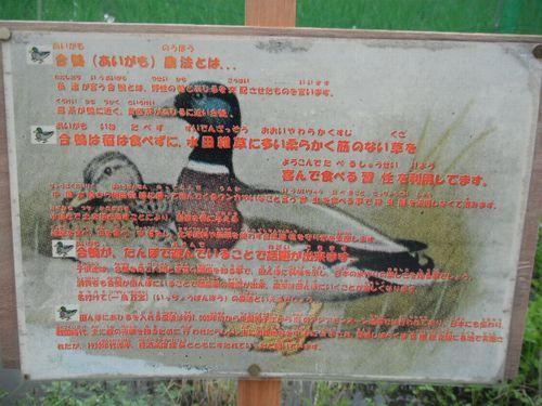 合鴨の説明.JPG