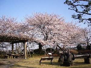 060331桜5.JPG