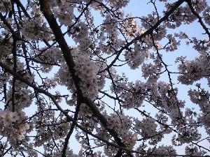 060331桜3.JPG