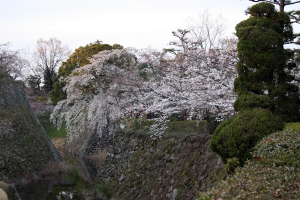 郡山城址お堀の桜