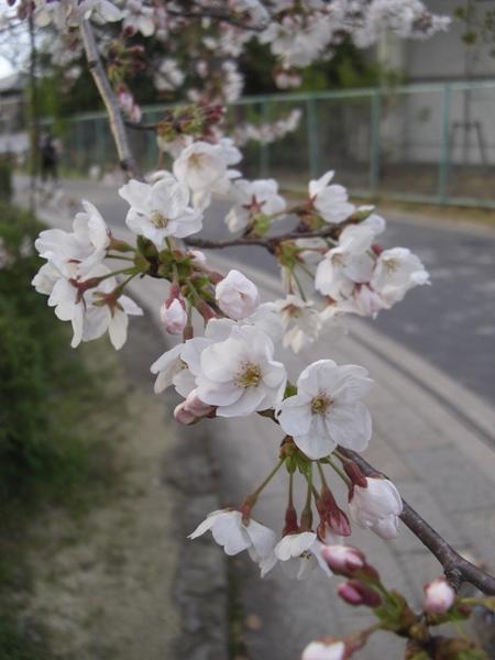 郡山城址の桜