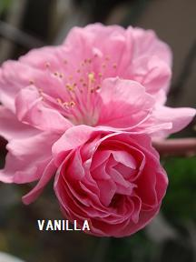 4月の花 013.jpg