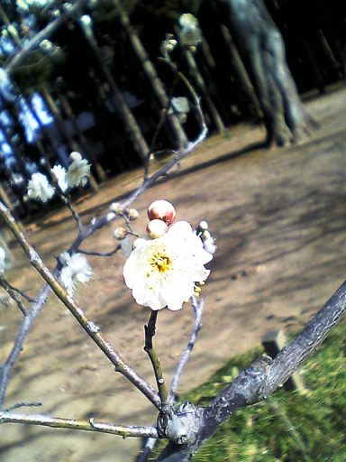 偕楽園 梅の花