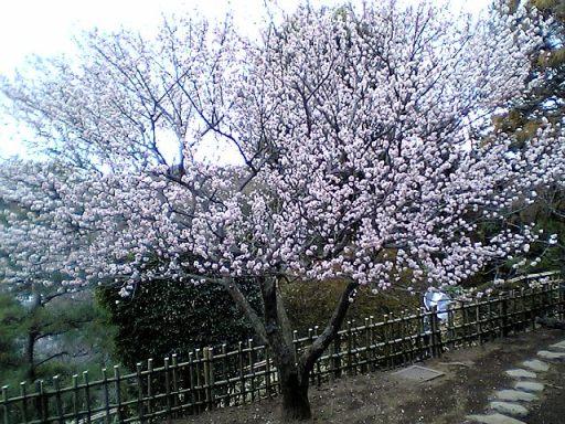 偕楽園 梅の木