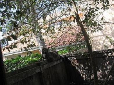 Neighbor'sCat-#2-Nov2006