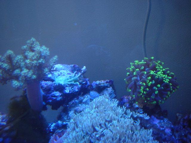 サンゴイソギン貝にはいる