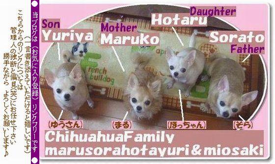 いらっしゃいませ~♪ チワワファミリーまるそらほたゆりのご紹介です♪ ロングコートのママと パパを筆頭に子供たちはスムース三人組です 我が家のチワワたちの写真・犬・ショップ for Dog/Cat/Ownerへジャンプします
