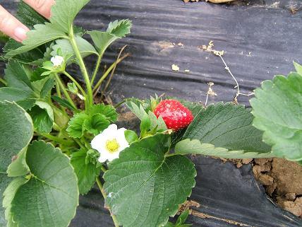 イチゴの花!