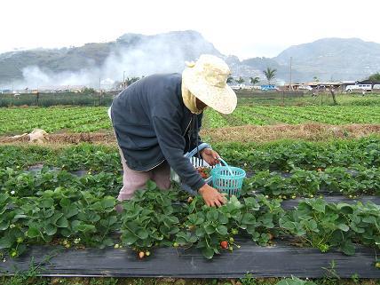 イチゴを摘むおばさん