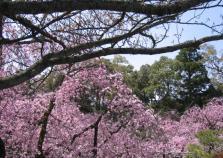 平安神宮 神苑 しだれ桜A1-1
