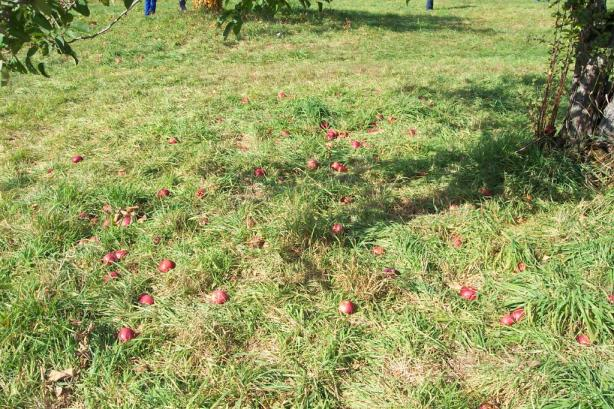 apple on the ground