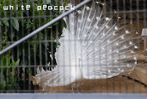 white peacock.png