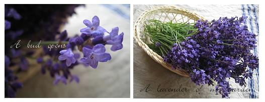 A lavender of my garden.jpg