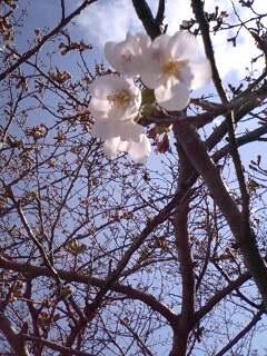 垂仁天皇陵 桜 開花