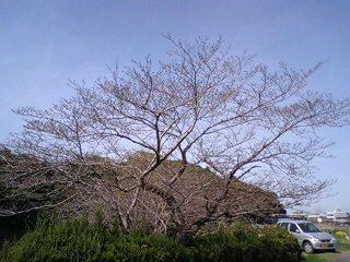 垂仁天皇陵の桜の木 春