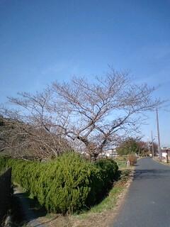 垂仁天皇陵周辺の12月の桜の木