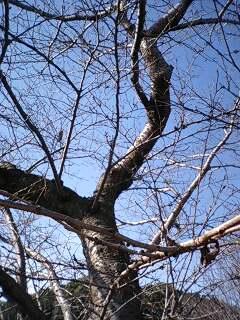 垂仁天皇陵周辺の12月の桜の木 アップ