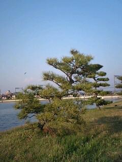 垂仁天皇陵の松の木