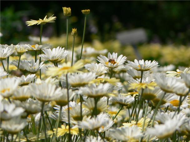 マーガレットに群がる蜜蜂