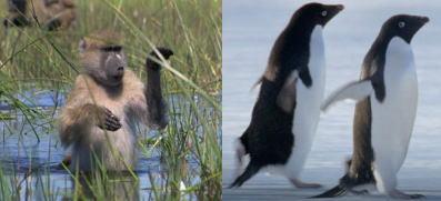 ヒヒとアデリーペンギン.jpg