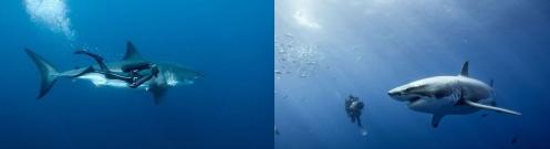 サメと人間.jpg