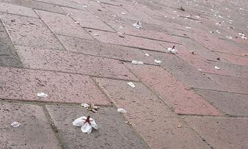 20070401桜の花びらとレンガ.JPG