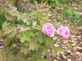 常滑の芍薬の花.JPG