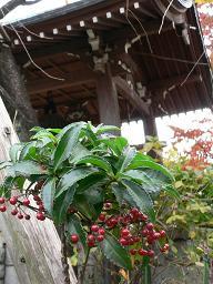 谷中*お寺さんの鐘楼と赤い実.JPG