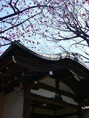 お寺さんと台湾桜.JPG