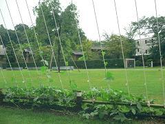金沢21世紀美術館*明後日朝顔プロジェクトの朝顔たち.JPG