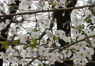 20070401桜さくら.JPG