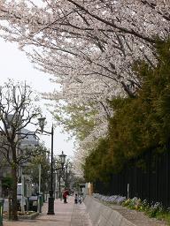 20070401桜の花びら降る街路.JPG