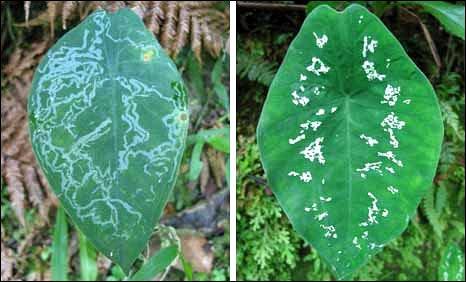 ハモグリガにダメージを受けた葉(左)と、そのふりをした葉 (右)BBC Earth Newsより