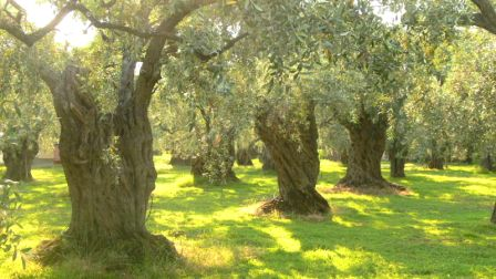 800px-Olive_trees_on_Thassos.jpg
