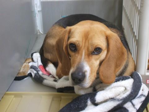 ビーグル犬のマルボイ日記   Beagle