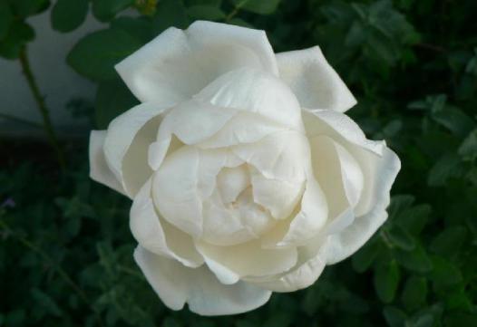 新雪つぼみ1号-開花